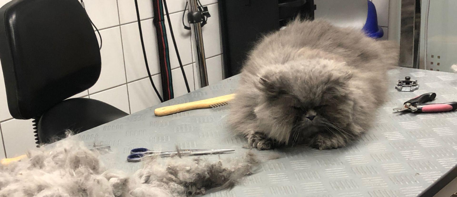 Katze Verfilzt Lässt Sich Nicht Kämmen